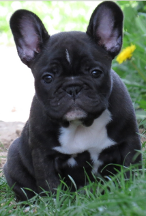 French Bulldog puppies in Texas